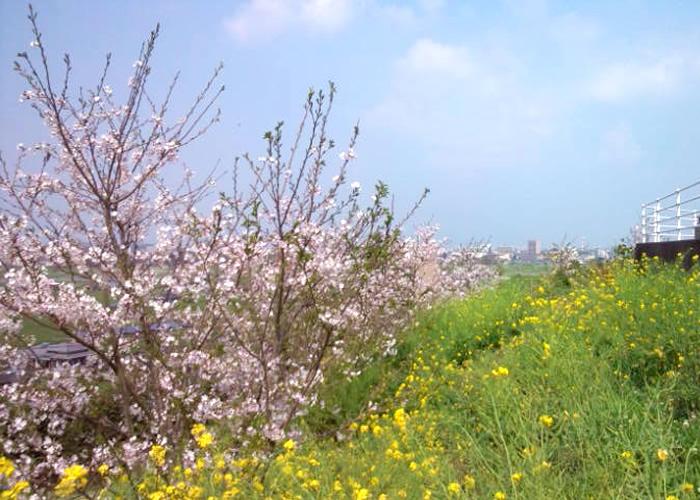 桜の花と菜の花が咲いている